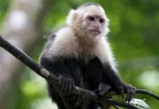 capuchin-monkey-02
